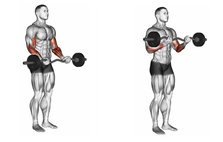 EZ Barbell Biceps Curl